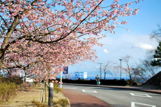伊豆高原 桜 開花 開花状況 開花予想 2010
